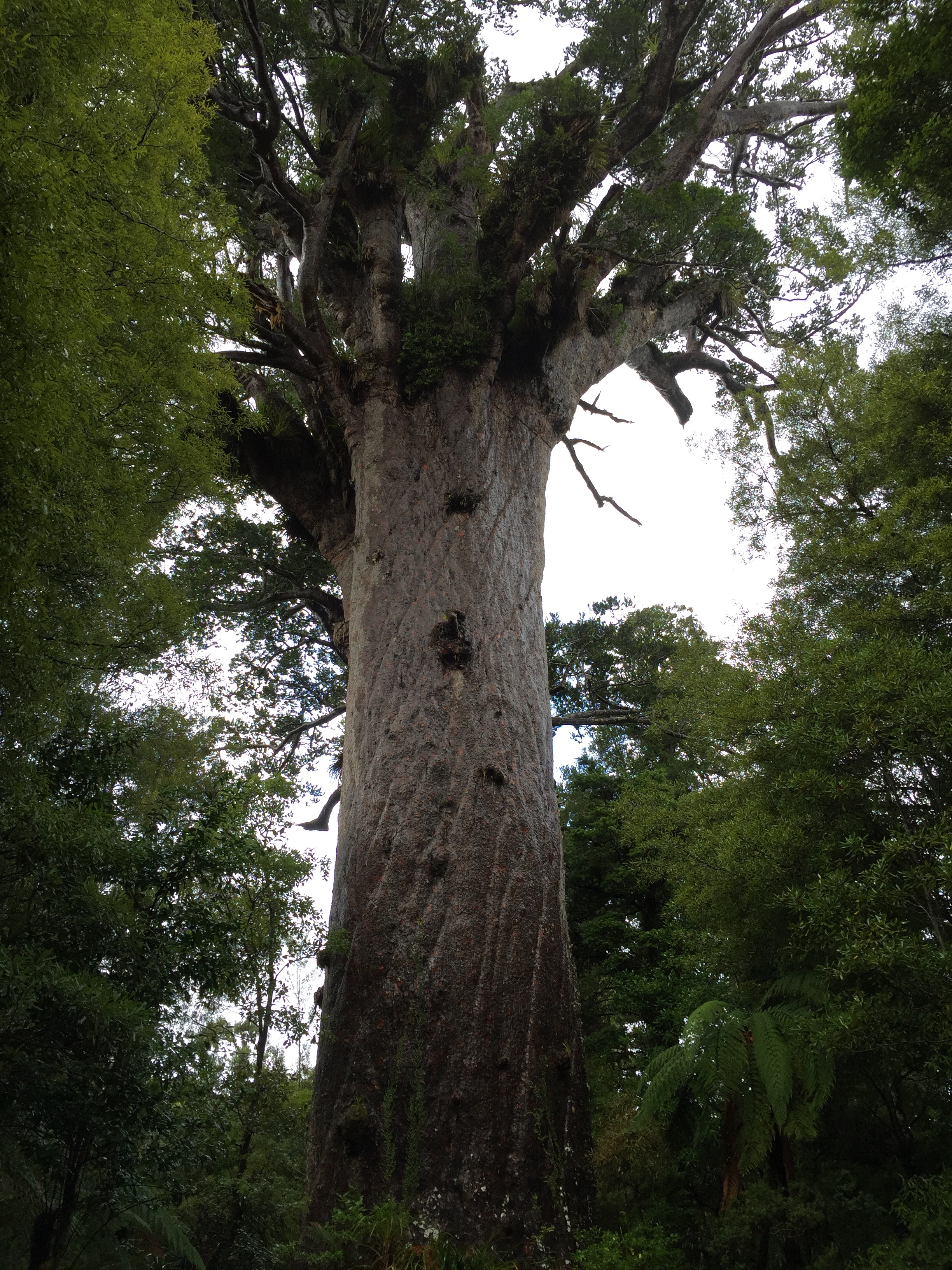 #23 See the Largest Kauri Tree | This Momma's Big Ol ...